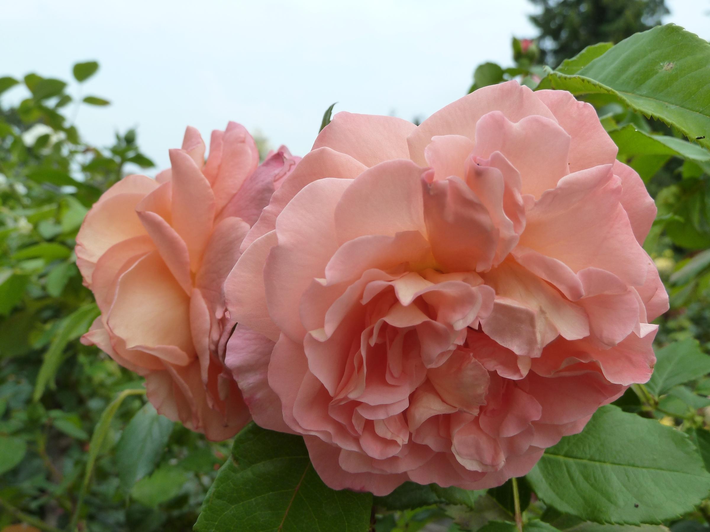Eldagsener Rose
