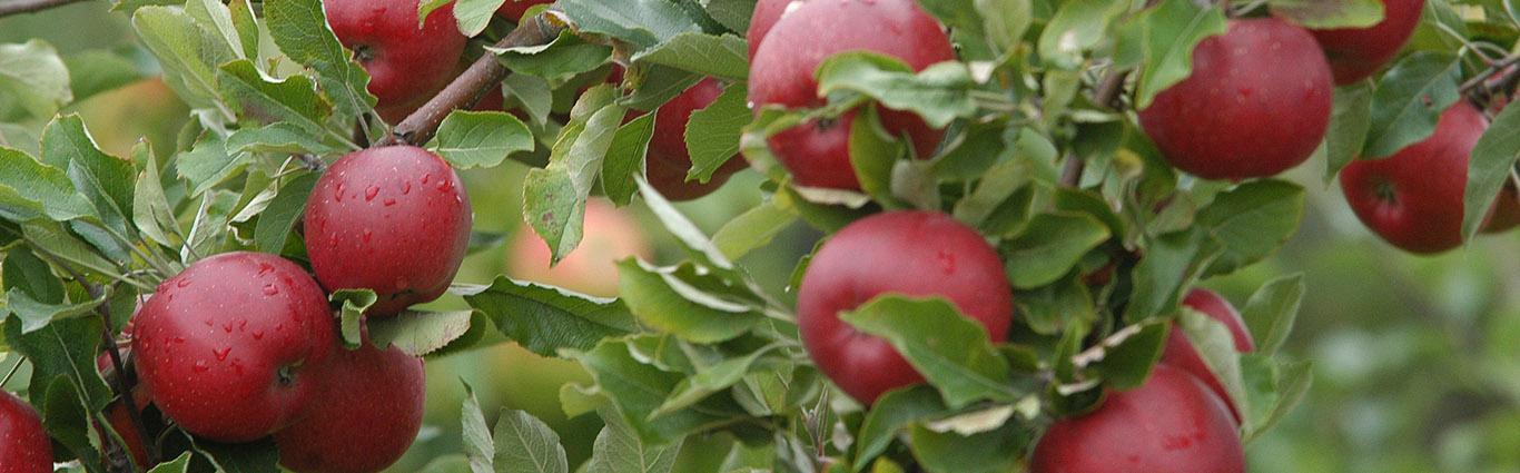 wenn der Apfel vom eigenen Baum kommt